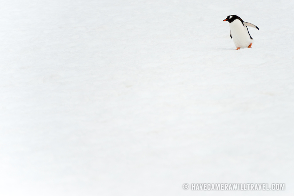 A solitary Gentoo penguin walks clumsily on the snow at Petermann Island, Antarctica. Petermann Island is home to the world's southernmost colony of Gentoo penguins. They share the coastline with Adelie penguins and seals as well as other seabirds.