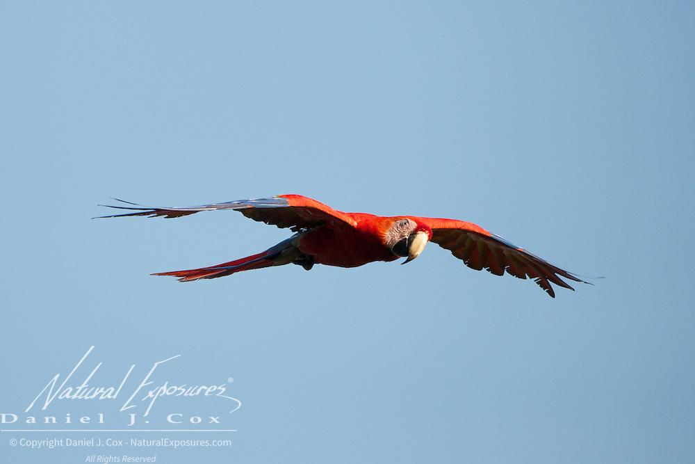 Scarlet Macaw, in flight, Osa Peninsula, Costa Rica.