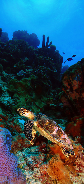 An endangered hawksbill turtle (Eretmochelys imbriocota), a keystone species, is feeding along the reef of Klein Bonaire, NA.