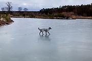 """English Setter """"Rudy"""" läuft am 29.01. 2019 über seinen gefrorenen Teich in Stara Lysa, (Tschechische Republik).  Rudy wurde Anfang Januar 2017 geboren."""