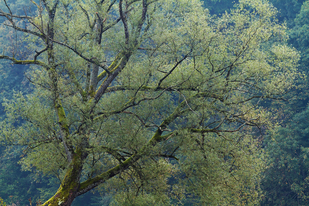 Old willow tree (Sali sp.) at the banks of the San River, close to Myczkowce, Poland.