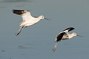 American Avocets landing.(Recurvirostra americana).Back Bay Reserve, California