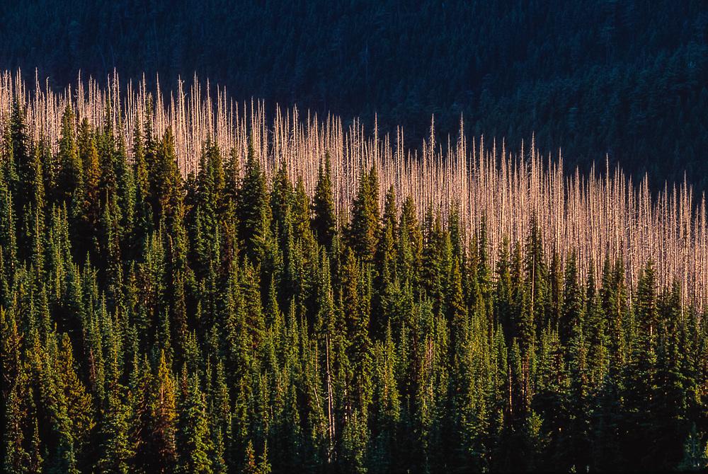 Forest fire tree snags, evening lighy, summer, Deer Park, Olympic National Park, Washington, USA