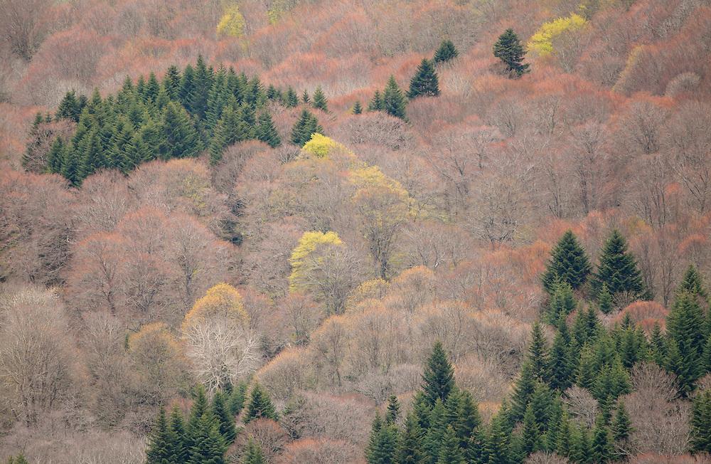Trees with pastel colors,  Col de Guéry, Forêt Domaniale de Guéry, Massif d Sancy, Auvergne, France
