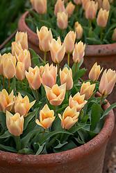 Tulipa 'Fur Elise' in a terracotta pot