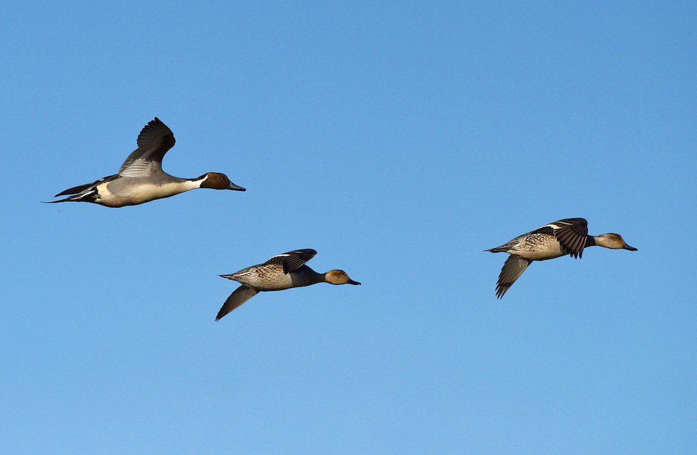 Pintail - Anas acuta - male and females