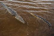 American Crocodile (Crocodylus acutus)<br /> Banco Chinchorro, <br /> Offshore Atoll<br /> Yucatan Peninsula<br /> Mexico<br /> Central America