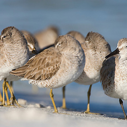 Short-billed dowitchers and a red knot rest on North Beach at Fort De Soto Park in Pinellas County, Florida. Winter plumage.