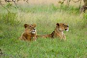 Kenya, Lake Nakuru National Park, two Lioness waiting in the grass, February 2007