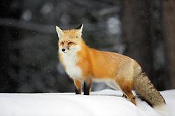 Red Fox,Falling snow, Grand Teton National Park
