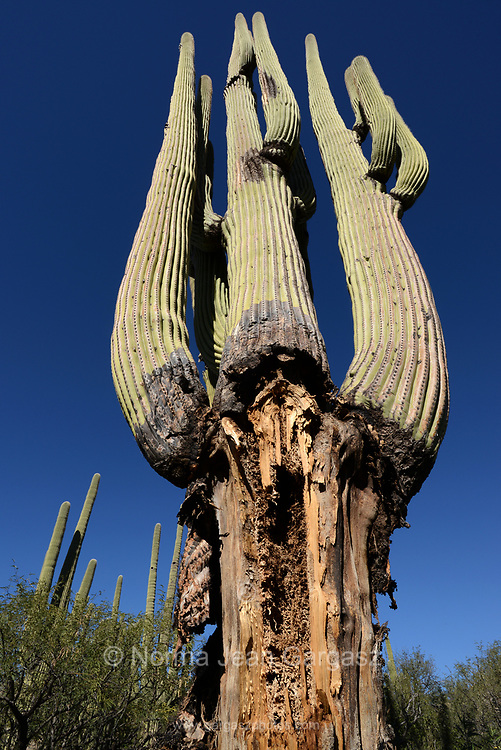 Two large, mature saguaro cactus succumb to disease, age, environment, climate change, or a combination of factors in the foothills of the Santa Caatalina Mountains in the Sonoran Desert, Catalina, Arizona, USA.