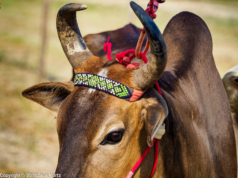 17 FEBRUARY 2018 - BAN LOT, PHETCHABURI, THAILAND: An ox before a race in Ban Lat, a community about three hours south of Bangkok. The ox cart races are almost 100 years old, and date back to the reign of King Rama V. The races are run on a 100 meter long straightaway course.   PHOTO BY JACK KURTZ