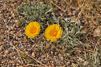 The very common, yet beautiful desert marigold grows for most of the year anywhere that stays above freezing in the deserts of the Southwest. These were photographed. along the roadside just outside of Las Vegas, Nevada. It is also called the showy desert marigold.