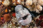 A Wolf Eel, Anarrhuchthys ocellatus, peers out of its den in Browining Passage, Port Hardy, Vancouver Island, British Columbia, Canada