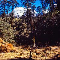 Pine trees in the Hinku Valley in the Khumbu region of Nepal. 1980