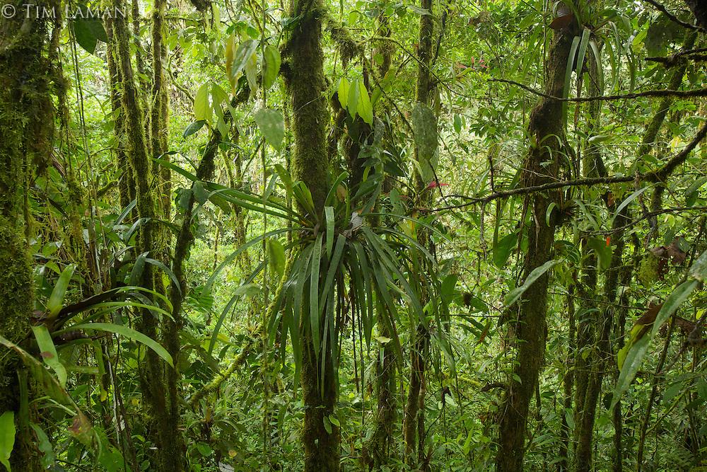 Cloud forest interior view<br /><br />Milpe Cloudforest Reserve, Ecuador.