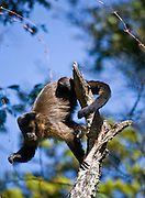 Pocos de Caldas_MG, Brasil...Detalhe de um Macaco-Prego (Cebus apella) em uma arvore em uma Reserva Particular do Patrimonio Natural...The Capuchin monkey (Cebus apella) in a tree at Private Reserve of Natural Heritage...Foto: JOAO MARCOS ROSA /  NITRO