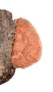 Cinnamon Bracket - Hapalopilus nidulans