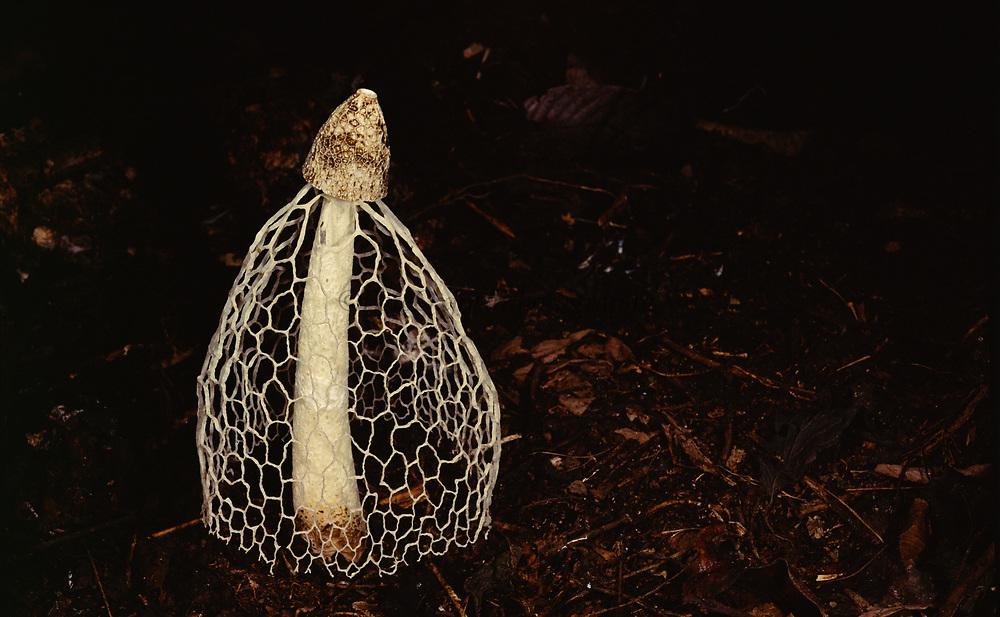 Ladies Veil or Bridal Fungus<br />Dyctiophora indusiatus<br />Madre de Dios, Amazon Rain Forest, PERU  South America
