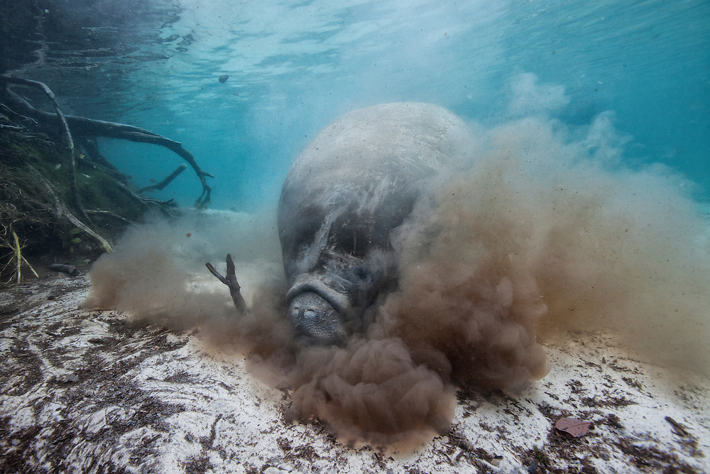 A west indian manatee stirs up ground matter in Crystal River looking for food.