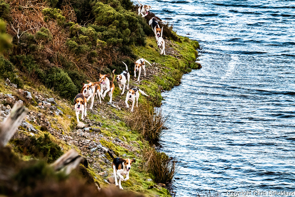 Hownam, Kelso, Scottish Borders, UK. 9th February 2019. Foxhounds of the Border Hunt, a hill pack, draw a hill side of gorse and heather while flushing foxes to guns in the Cheviot Hills. Fox management in the Border uplands is crucial for ground nesting birds such as the Curlew, and the upcoming lambing season. A full pack of hounds is effective due to their ability to fan out over steep terrain.
