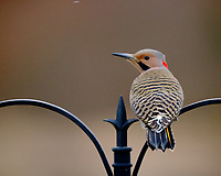 Northern Flicker (Yellow-shafted Flicker, Eastern Flicker). Image taken with a Fuji X-T3 camera and 200 mm f/2 lens and 1.4x teleconverter (ISO 3200, 280 mm, f/2.8, 1/500 sec).