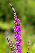 Purple Flowering Loosestrife wildflower, Lythrum salicaria, in  garden in The Cotswolds, England, United Kingdom
