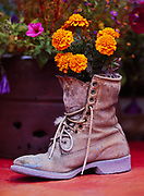 Old boot planted with marigolds, garden at Jan Wotton's Carcross Barracks, Carcross, Yukon Territory, Canada.