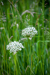 Allium 'Nigrum' syn. Allium Multibulbosum growing in long grass