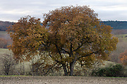 big old tree in rural landscape setting during autumn season