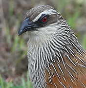 Close-up portrait of a  white-browed coucal or lark-heeled cuckoo (Centropus superciliosus). Serengeti National Park, Tanzania.