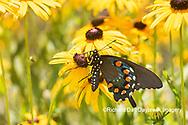 03004-01519 Pipevine Swallowtail (Battus philenor) on Black-eyed Susans (Rudbeckia hirta) Marion Co. IL