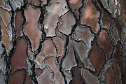 Tree bark texture of a Pine in Evisa, Corsica, France.