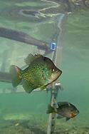 Black Crappie (under boat dock)<br /> <br /> Engbretson Underwater Photography