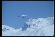 Dangerous Sports Club Ski race. St. Moritz. 1983 approx. © Copyright Photograph by Dafydd Jones 66 Stockwell Park Rd. London SW9 0DA Tel 020 7733 0108 www.dafjones.com