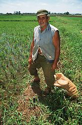Farmer standing in field of rice in Cuba,