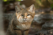 Sand Cat (Felis margarita), also known as the sand dune cat, is the only felid found primarily in true desert. Photographed in Israel in the Arava Desert