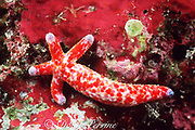 mottled sea star, Dalmation starfish, or spotted Linckia,  Linckia multifora, regenerating body from a single arm, Helen Atoll, Southwest Islands, Palau, Micronesia ( Western Pacific Ocean )