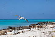 Laysan albatross, Phoebastria immutabilis, coming in for a landing, Sand Island, Midway Atoll, Midway National Wildlife Refuge, Papahanaumokuakea Marine National Monument, Northwest Hawaiian Islands, USA ( North Pacific Ocean )