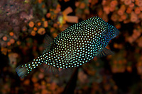 Spotted Boxfish (Ostraceon meleagris) female<br /><br />Rancheria Island<br />Coiba National Park<br />Panama<br /><br />Iglesias dive site