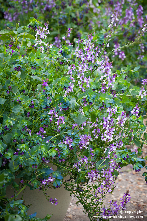 Linaria maroccana 'Licilia Azure' (Toadflax) with Cerinthe major var. purpurescens (Honeywort) in a pot