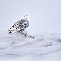 Snowy owl resting on a snow drift.