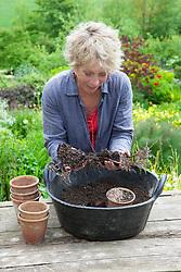 Taking basal cuttings from Dahlia 'Bishop of Llandaff'. Potting on