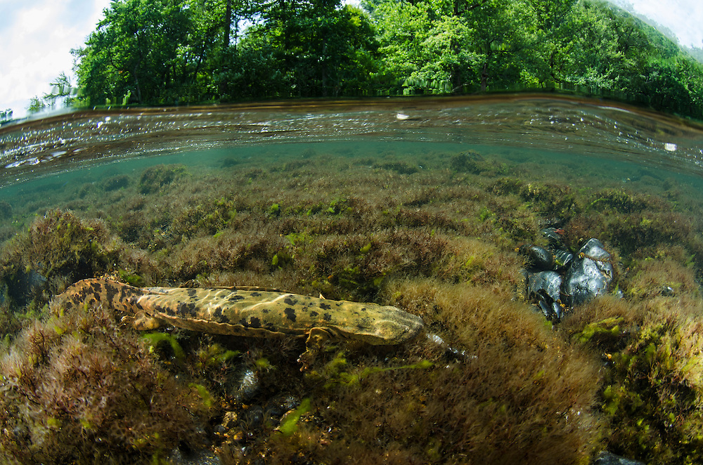 Eastern Hellbender (Cryptobranchus alleganiensis alleganiensis)<br /> <br /> Hiwassee River, Cherokee National Forest<br /> Tennessee<br /> USA<br /> HABITAT & RANGE: Clear, fast-flowing streams and rivers of Susquehanna River drainage in southern New York and Pennsylvania, and large portions Missouri, Ohio, and Mississippi River drainages from western Pennsylvania, southern Ohio, extreme southern Indiana, most of West Virginia, Kentucky, and Tennessee, northern Alabama and Georgia, western North Carolina and Virginia.