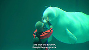 """Nack, the beluga that """"talks""""<br /> <br /> This is one of the leading Aquariums in Japan, its a 2 hour drive from Tokyo state, and has around 11,000 organisms on display. It also has has a talking belong whale, so we interviewed the aquarium's director about it. """"Nack"""" the beluga was caught in Canada in 1988.<br /> Among dolphin species, the beluga's distinctive characteristics are their pure white colour.. and the lack of a back fin though they are scarce. <br /> if you touch one you'll notice right away they're very soft. Its thought that they got like that because they live in freezing cold water,<br /> <br /> At the end of its forehead it has a hole for breathing, called the """"air Sack""""<br /> by drawing sound between the air sack and spiracle, it whistles like a human, 7 years ago, with the cooperation of the aquarium, a professor began training the beluga, to imitate human speech as part of his research, now its a popular performance. <br /> ©28Lab/Exclusivepix Media"""