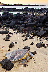 Tagged and released Green Sea Turtle, Chelonia mydas, resting in front of the piles of lava rocks of `Ai`Opio Fish Trap built by ancient Hawaiian, note - inscribed and painted number and the epoxied sonic transmitter on its carapace (tutle shell), U.S. Marine Turtle Research, organized by researcher George Balazs PhD, NOAA National Marine Fisheries Service (NMFS), Hawaii Preparatory Academy (HPA) students and teachers (NOAA/HPA Marine Turtle Program), and ReefTeach volunteers at Kaloko-Honokohau National Historical Park, Kona Coast, Big Island, Hawaii, USA, Pacific Ocean