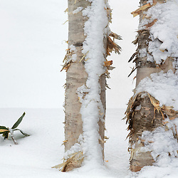 NISEKO BIRCH TREES IN SNOW