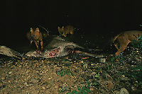 Asian wild dogs or dholes, Cuon alpinus, prey on a sambar deer.