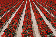 Row irrigation of flower plants grown for seed: Lompoc, California.