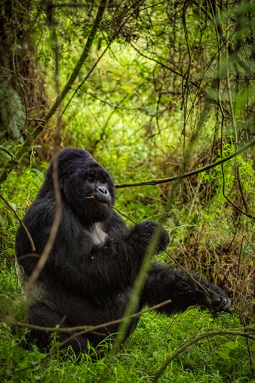 A large male silverback gorilla deep in bamboo forest in Mgahinga National Park<br /> <br /> Limited Edition of 25